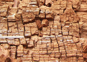 Wood severely damaged by dry rot damage in Missanabie