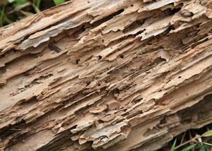 Termite-damaged wood showing rotting galleries outside of a Sturgeon Falls home